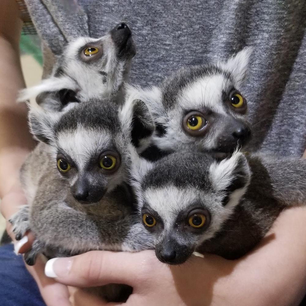 four young impact lemurs